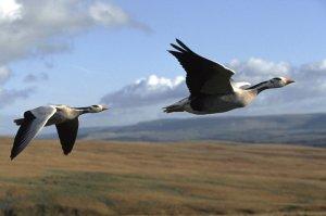 geese-in-flight_custom-408d5c16d3bcce1c3e58b4a95e5d436b345f5e5c-s800-c85