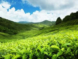 srilanka_tea_plantations